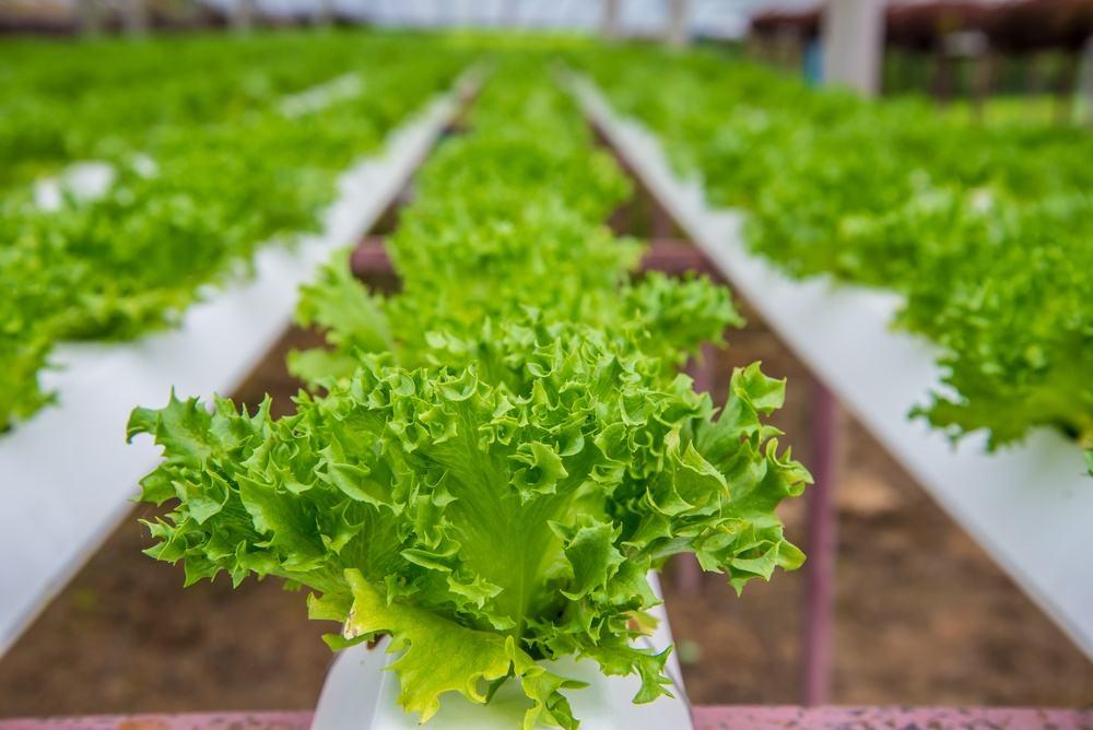 水培蔬菜有哪些适合种植的种类?需要哪些设施设备